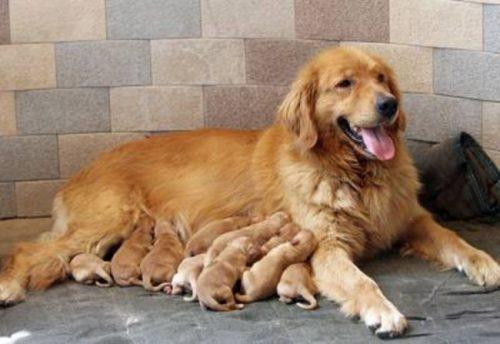 Las 10 razas de perros más inteligentes 14
