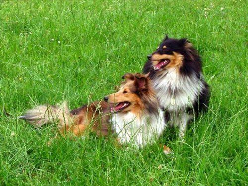 Las 10 razas de perros más inteligentes 16