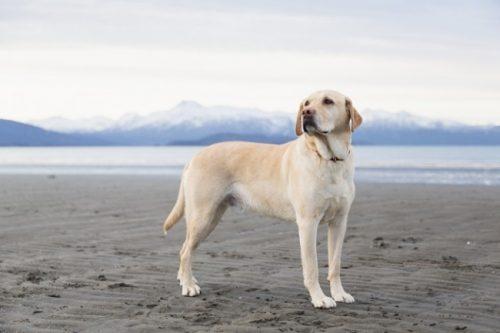 Las 10 razas de perros más inteligentes 17