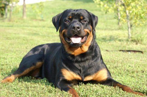 Las 10 razas de perros más inteligentes 19