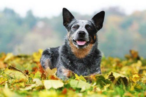 Las 10 razas de perros más inteligentes 20