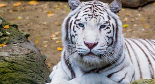 Información sobre el tigre blanco 2