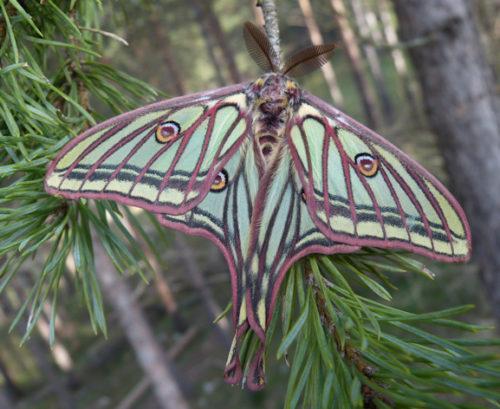 Información sobre la mariposa Isabelina 2