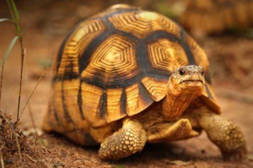 Información sobre la tortuga Angonoka 1