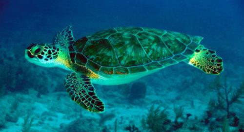 todo-sobre-la-tortuga-marina-1
