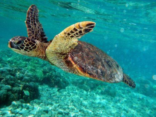 todo-sobre-la-tortuga-marina-2