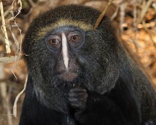 f9695f23d5878 El mono cara de búho informacion sobre animales jpg 500x402 Mono su cara