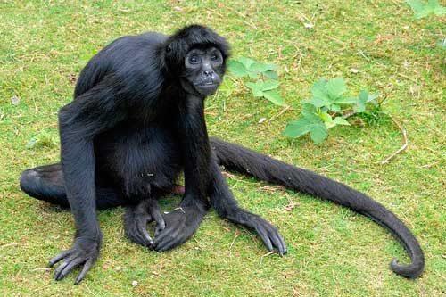 El penner de mono peludo